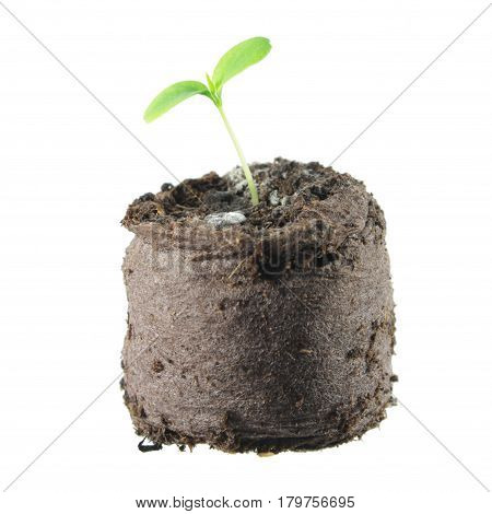 Seedling of Cucamelon (Melothria scabra) in clod of soil isolated on white background