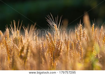 Summer. Ripe spikelets of wheat on a green background.