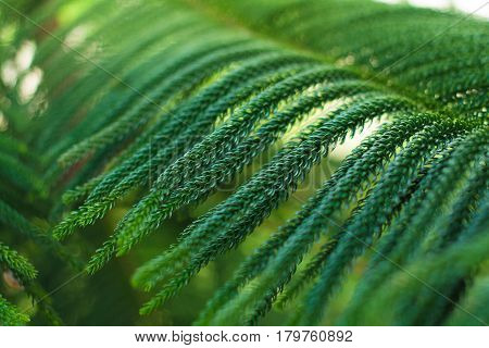 abstract background of Norfolk Island Pine Tree (soft focus)
