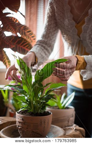 The woman caring for house plants greenhouse, greenery, spathiphyllum