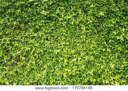 Backdrop of beautiful green leaves natural wall.