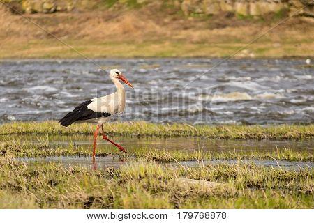 White stork walking in grass along riverside