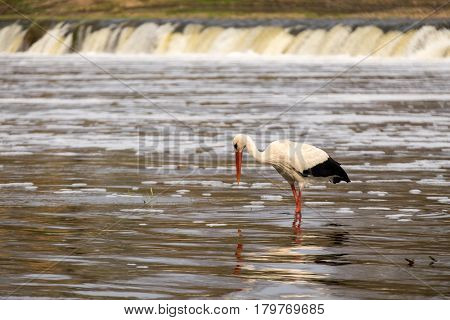White stork fishing in a river on a warm spring day