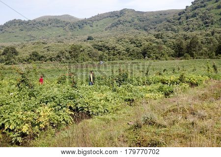 Villagers Working Potato Fields, Virunga, Rwanda, Africa