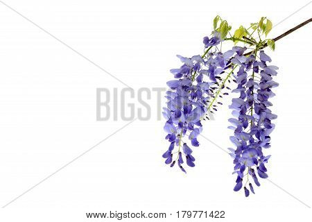 Wisteria flowers green leaves border for an angle of page over a white background. decorative element