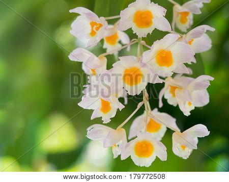 White and yellow orchid flower(Dendrobium primulinum) in nature.