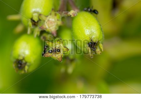 Macro Of Black Ants On A Plants Green Bud.
