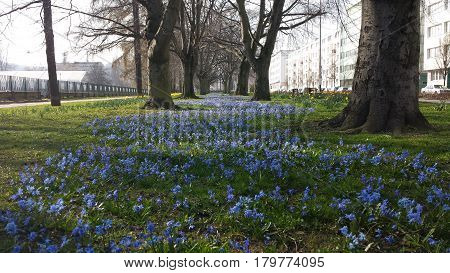 Alley of small blue flowers between trees
