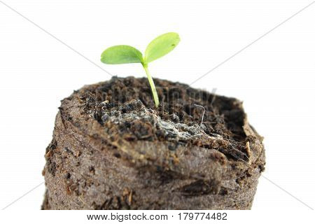 Sprout of Cucamelon (Melothria scabra) in clod of soil isolated on white background