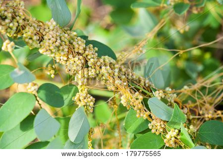 Dodder Genus Cuscuta is parasitic and totally dependent on other host plants for survival