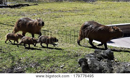 Photograph of a capybara family running in the zoo