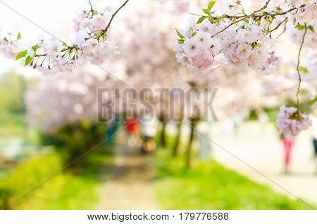 Blossom trees and flowers in a park. Beautiful spring nature view with people. Trees and sunlight. Scene of sunny day. Natural background.