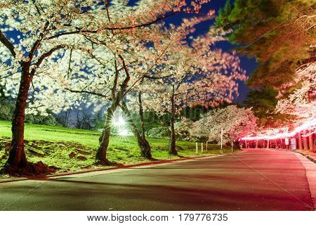 Long exposure of Cherry blossom in Joyama park during Hanami festival Matsumoto Japan