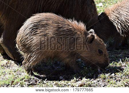 Photograph of a baby capybara eating grass.
