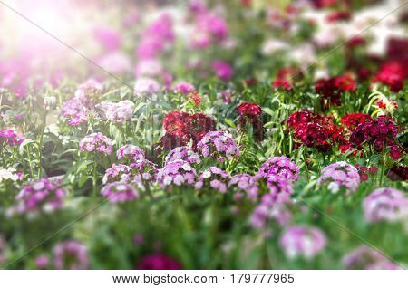 Flowers in garden with sun flare in sunset