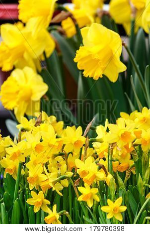 Spring flowers. Yellow and orange daffodils in garden