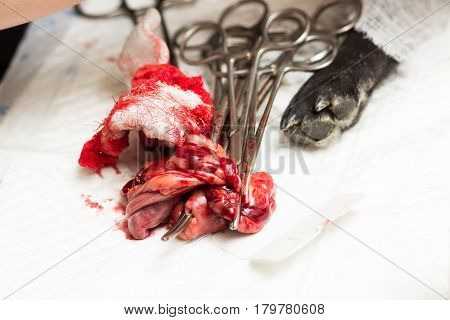 Veterinary sterilization of a dog of the breed French bulldog uterus and seminal canals removed during surgery lie on the table next to the clamps