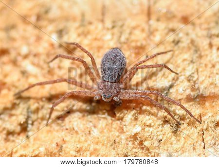 Little  spider on a wooden background, Spider close up. Dangerous insects.