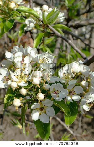 Pear blossom in early spring in garden
