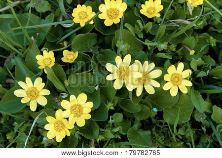 Image of beautiful yellow flowers on a green background in the garden