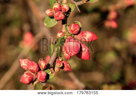 Image bush in the garden blooming in red flowers