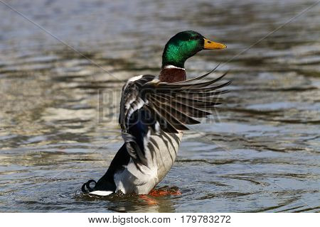 A Mallard drakes stands and flaps his wings
