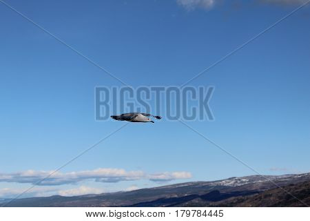 Closeup of seagull gliding in sky with blue sky mountains and white clouds background.