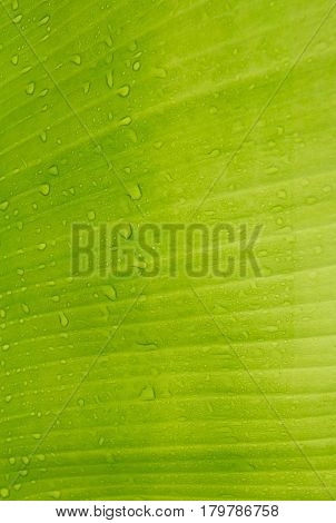 The Texture background of fresh green Leaf.