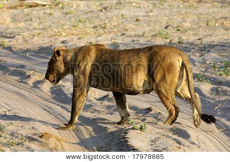 Muscular lioness