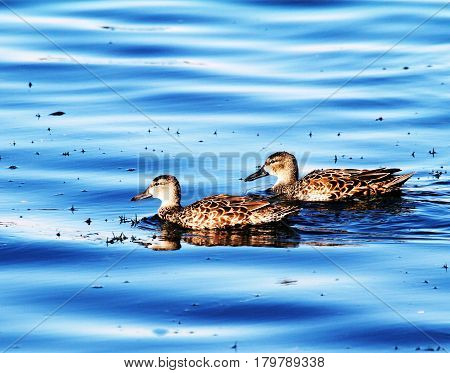 A pair of female blue winged teal swim in bright blue water.