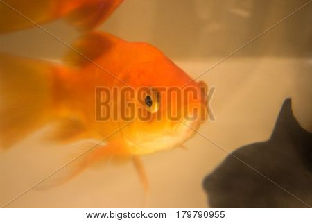 Goldfish swimming in fish tank in petshop store window.