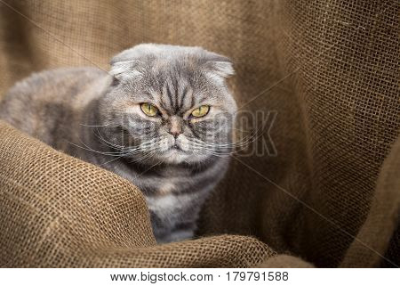 Scottish Fold cat sits in the folds of burlap and angry looks at the camera.