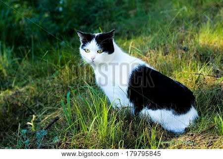 the cat white-black color, cat sitting in the grass, cat with yellow eyes, feline sight