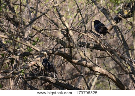 Pair Of Starlings Among Tree Branches In Spring