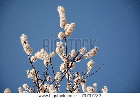 Branches Of A Flowering Tree Close Up On A Blue Background