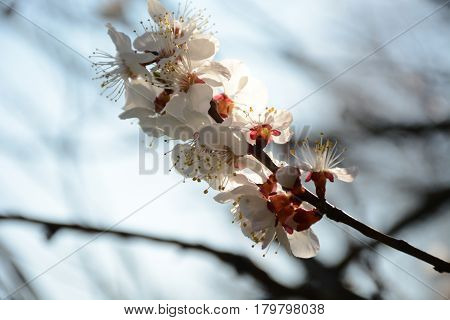 Branch Of A Blossoming Tree In The Sunlight Close Up