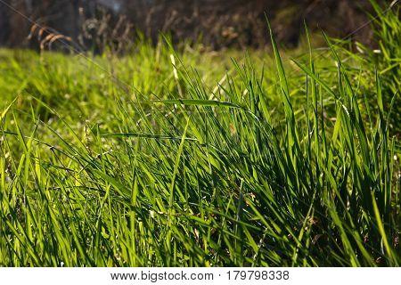 Green Fresh Grass Closeup In Sunlight