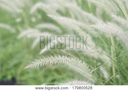 Meadow clump of white grass in the garden soft focus