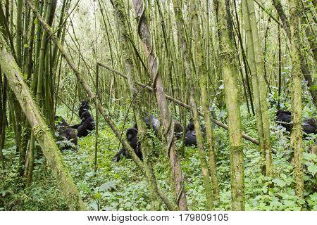 Mountain Gorilla Group In Volcanoes National Park, Virunga, Rwanda
