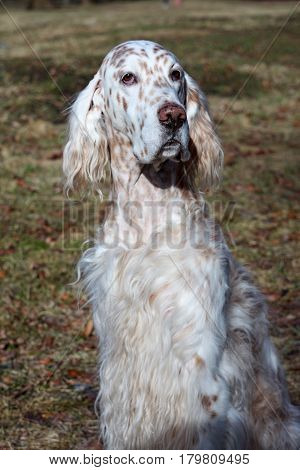 Show dog of hunting breed - english setter portrait