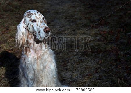 English setter portrait on the dark spring grass background, vintage white and brown dog face