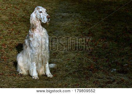 White stylish royal dog english setter sitting in the dark spring park background in vintage style
