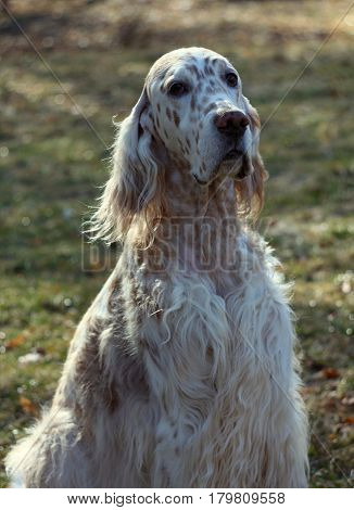 English setter (white haired hunting dog) portrait close up in vintage style, long hair on the windy day