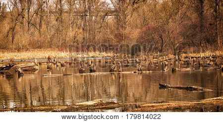 Beautiful view of the swamp around the trees of the spring forest in the swamp there are many stumps and logs