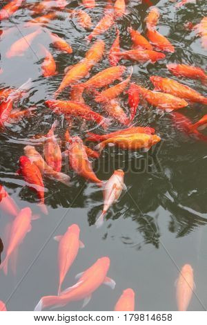 Koi carp fish in the lake or pond. Top view. Vertical.