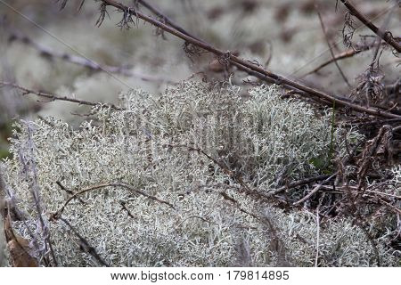 Cladonia rangiferina or reindeer lichen or reindeer moss or caribou moss. Microscopic lichen symbiosis of cyanobacteria and fungi. Scurfy green background texture