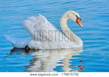 A White Swan Swims on the Lake