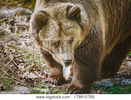 Brown Bear Eats a Frech Catched Fish