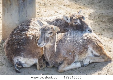 Two European mouflons resting quietly Ovis Musimon