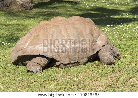 Giant turtle eating grass Tortoise Aldabra giant